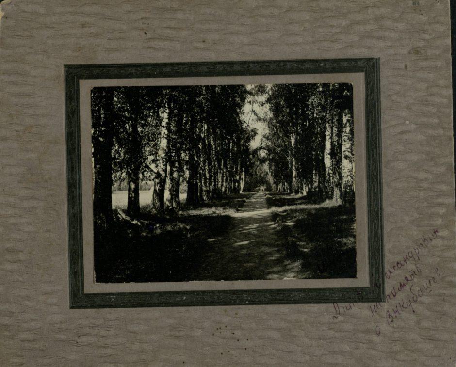 Березовая аллея в Шушарах. 1914 г. Фотография. Фотобумага, картон.